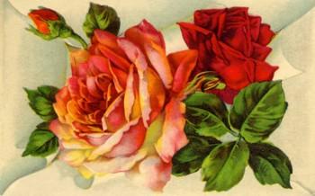 ST bocker rosor